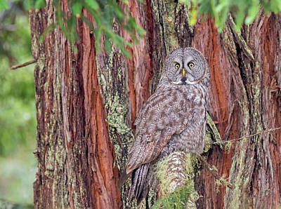 Great Grey Owl In A Giant Redwood Poster by Loree Johnson