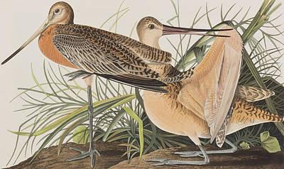 Great Marbled Godwit Poster by John James Audubon