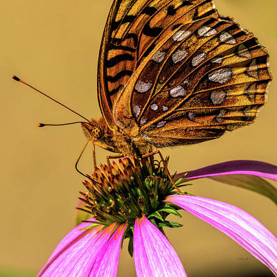 Great Spangled Fritillary Poster by Bob Orsillo