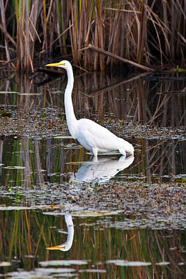 Great White Egret Poster by James Marvin Phelps