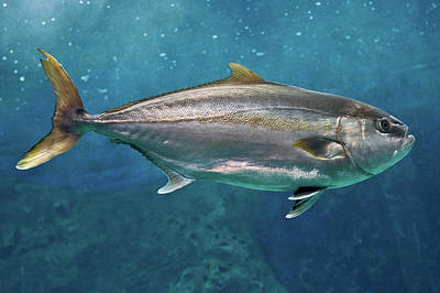 Greater Amberjack Poster by Stavros Markopoulos