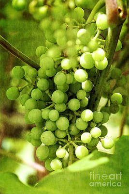 Green Grapes On Vine Poster by Ella Kaye Dickey