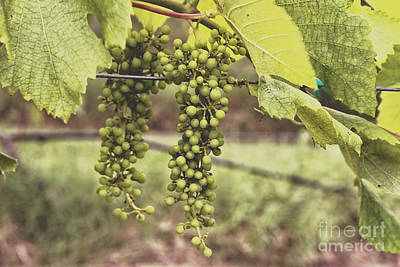 Green Grapes Spring Crop On The Vine Poster by Ella Kaye Dickey
