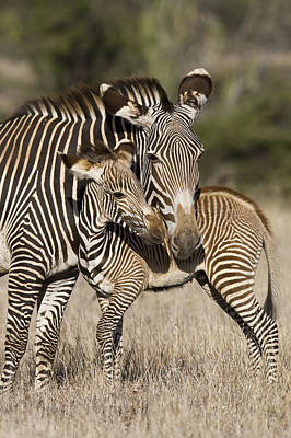 Grevys Zebra And Young Foal Lewa Poster by Suzi Eszterhas