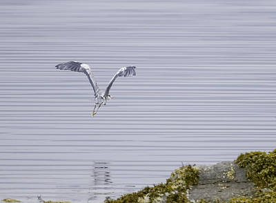 Grey Heron Flying Over A Loch On The Isle Of Mull Poster by Mr Bennett Kent