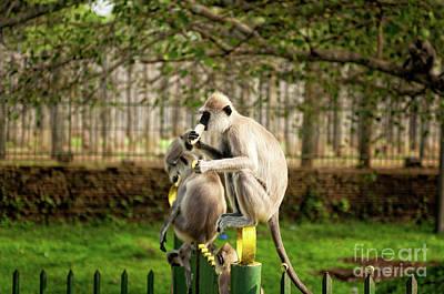Grey Langur Monkey At Anuradhapura  Poster by Venura Herath