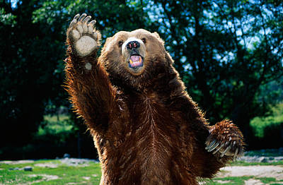 Grizzly Bear On Hind Legs Poster by Panoramic Images