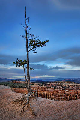 Hanging On - Limber Pine - Bryce Poster by Nikolyn McDonald