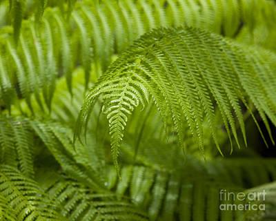 Hapu'u Tree Ferns Poster by Charmian Vistaunet