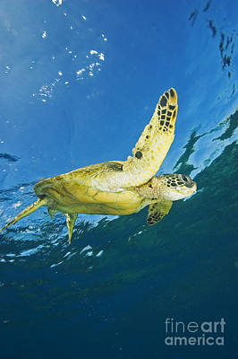 Hawaii, Green Sea Turtle Poster by Ron Dahlquist - Printscapes