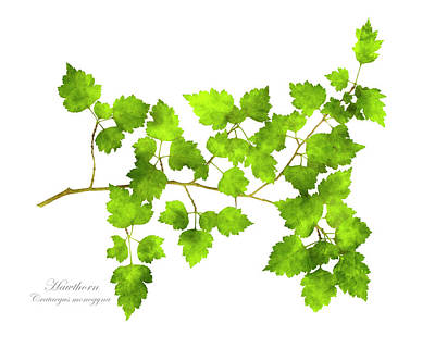 Hawthorn Pressed Leaf Art Poster by Christina Rollo