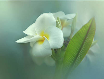 Heavenly Plumeria Poster by Angie Vogel