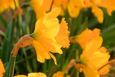 Heavy Headed Daffodil Poster by Jeff Swan