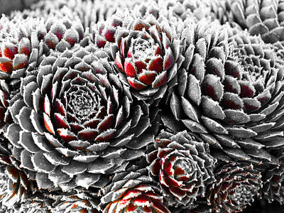 Hens And Chicks...succulent Plants Poster by Tom Druin
