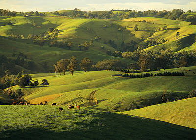 Hereford Beef Cattle Grazing At Arawata In The Strzelecki Ranges, Gippsland, Victoria, Australia Poster by Peter Walton Photography