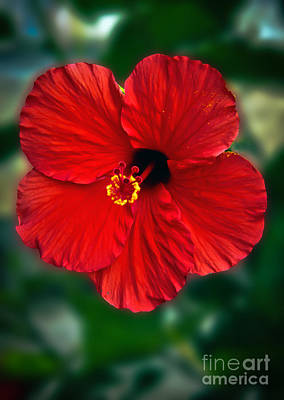 Hibiscus Poster by Robert Bales