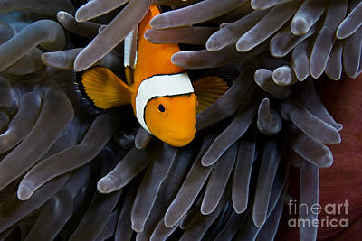 Hiding Clown Anemonefish Poster by Dave Fleetham - Printscapes