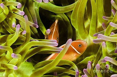 Hiding Clownfish Poster by Dave Fleetham - Printscapes