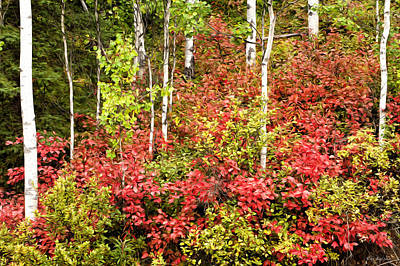 High Bush Cranberry And Aspens Poster by Ray Bulson