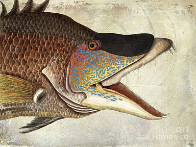 Hogfish Snapper Poster by Jon Neidert