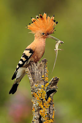 Hoopoe With Lizard Poster by Andres Miguel Dominguez