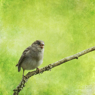 House Sparrow Chick Poster by Liz Leyden