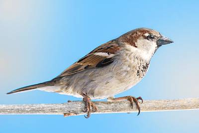 Birdwatching Poster featuring the photograph House Sparrow by Jim Hughes