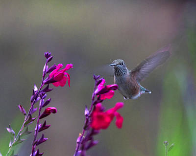 Hummingbird At Flower Poster by Lowell Monke