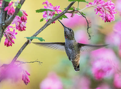 Hummingbird In The Blooms Poster by Angie Vogel