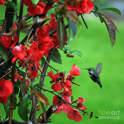 Hummingbird In The Flowering Quince - Digital Painting Poster by Carol Groenen
