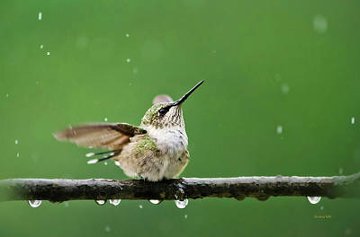 Hummingbird In The Rain Poster by Christina Rollo