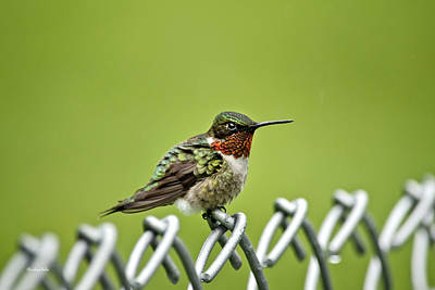 Hummingbird On A Fence Poster by Christina Rollo