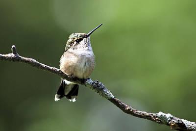 Hummingbird Perch Poster by Christina Rollo