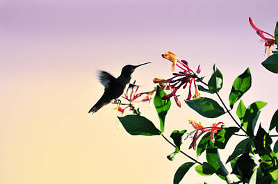 Hummingbird Sunset Poster by Betty LaRue
