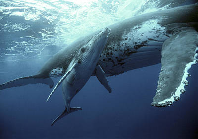 Humpback Whale And Calf Poster by Mike Parry
