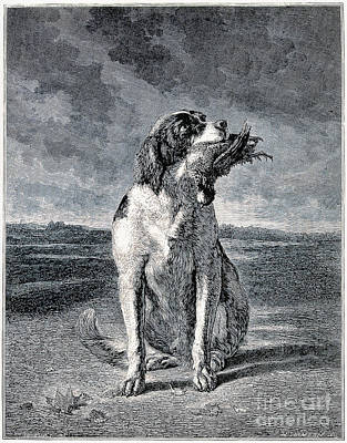 Hunting Dog With Game Bird In Mouth Poster by Wellcome Images