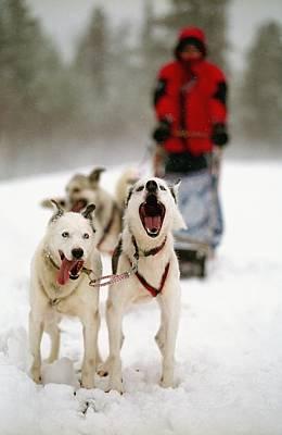 Husky Dog Racing Poster by Axiom Photographic