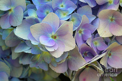 Hydrangea Flower Poster by Corey Ford