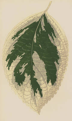 Hydrangea Japonica Variegata Poster by English School