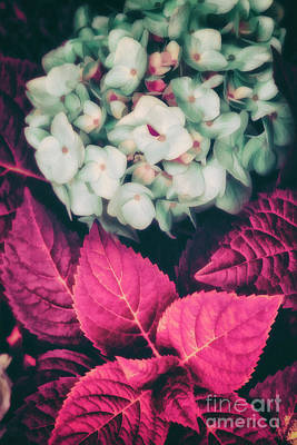 Hydrangea  Poster by Mindy Sommers
