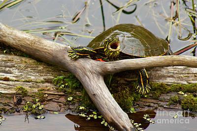 I Am Turtle, Hear Me Roar Poster by Sean Griffin