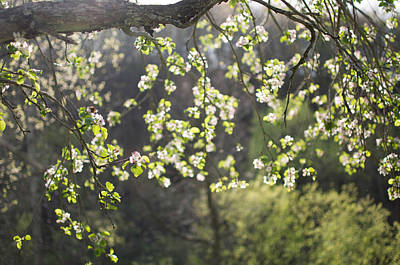 Illuminated Apple Blossoms Poster by Indigo Schneider