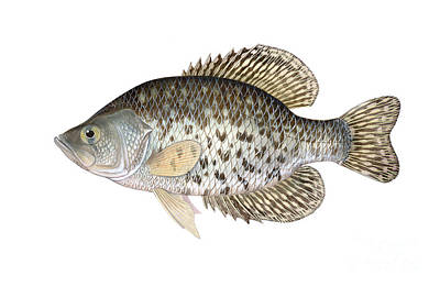 Illustration Of A Black Crappie Poster by Carlyn Iverson
