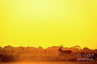 Impala Sunset Silhouette Poster by Tim Hester