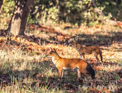 Indian Wild Dogs Dholes Kanha National Park India Poster by Liz Leyden