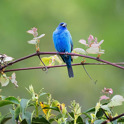 Indigo Bunting Perched Square Poster by Bill Wakeley