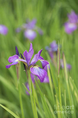 Iris Sibirica Sparkling Rose Flower Poster by Tim Gainey