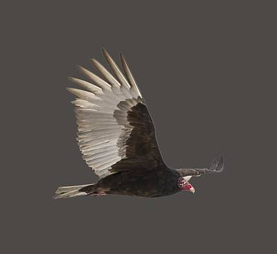 Isolated Turkey Vulture 2014-1 Poster by Thomas Young
