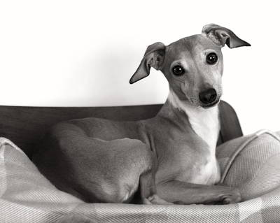Italian Greyhound Portrait 2 In Black And White Poster by Angela Rath