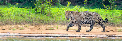 Jaguar Panthera Onca On Riverbank Poster by Panoramic Images